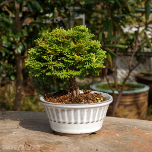 Renzan cypress No. 2.5 pot (7.5 cm) [bonsai material small bonsai mini bonsai mini bonsai] [tsuyama cypress cypress]