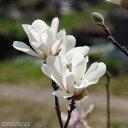 ヒメコブシ(シデコブシ) 6号 高さ120-130cm 【樹木 花木】【植木 庭木】【好日性植物】【姫コブシ】