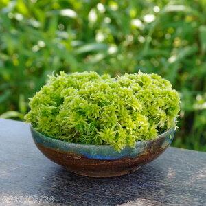 تتمتع الطحلب بونساي الخام sphagnum 5 (15 سم) (حوض شيجاراكي بوتر) مع السماد [الطحلب بونساي] [نباتات رطبة] [الصيف نصف الظل معمر]