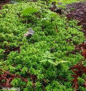 ミズゴケ 湿生植物 テラリウム・ 食虫植物