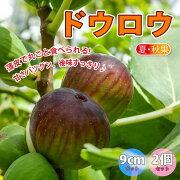【送料無料】ミニイチジクドウロウ【果樹苗9cmポット/2個セット】夏秋果兼用種の無花果。果皮は赤橙で果肉はイチゴ色。とても甘い品種で後味がスッキリしていてとても食べやすいのが特徴!!