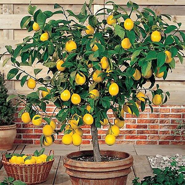 【2021年最新版】シンボルツリー(レモン)の人気おすすめランキング15選【種類・品種も解説!】