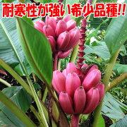 【送料無料】アケビバナナ(耐寒性バナナ)の苗木【10.5cmポット苗1個売り】ポット苗なので冬場以外は植付け可能!珍しいピンクの花と実のバナナで、耐寒性があり、マイナス5度まで耐えられる特徴があり丈夫で育てやすく、植え付け後1年くらいで結実します!