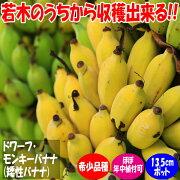 【送料無料】ドワーフ・モンキーバナナの苗木【13.5cmポット大苗1個売り】ポット苗なのでほぼ年中植付け可能。若木のうちから収穫できるおいしく育てやすさが人気の矮性バナナ品種!薄皮で柔らかく甘い小型バナナをご自宅で収穫できます。鉢植えでも十分楽しめます!