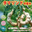 【送料無料】タマリンド樹高約70cm 1本売り 【18cmポ...