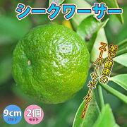 【送料無料】シークワーサー【果樹挿し木苗9cmポット/2個セット】年中植付け可能な沖縄に自生するミカン科の植物!レモンよりもフルーティーでスダチよりも癖がない味。家庭菜園としても人気で鉢植えにしてベランダでも簡単に栽培可!庭園果樹としてシンボルツリーに!