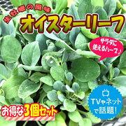 【送料無料】オイスターリーフ【葉を食べると生牡蠣のようなゴージャスな風味の最新高級葉野菜!】【9cmポット/お得な3個セット年中植付け可能!即出荷!】ハーブ食べれる