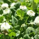 【種子】シロクローバー(ホワイトクローバー)お徳用500g袋!カネコ種苗のタネ
