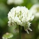 【種子】シロクローバー(ホワイトクローバー)品種名 KSWC1 お徳用500g袋!カネコ種苗のタネ 2