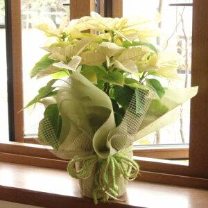 ≪送料無料!≫お歳暮やクリスマスプレゼントに、ぜひ♪ポインセチアの鉢花ギフト(花色:ホワ...