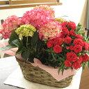 カーネーションとアジサイのよせ鉢ギフト(赤系カーネーション×ピンク系アジサイ)