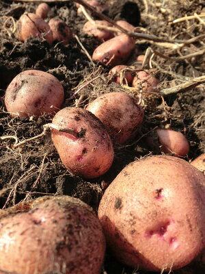 野菜・きのこ, ジャガイモ 10kgRCP