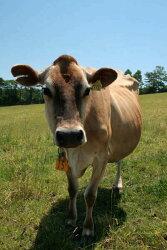 ジャージー牛乳100%美味しいヨーグルト、ギフトにも人気