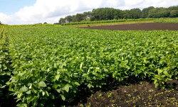 岩手県軽米町のエゴマ(じゅうね)畑