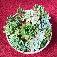 伊豆シャボテン本舗【多肉植物寄せ植え】多肉植物サボテンインテリア鉢セット限定