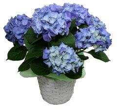 2016母の日/5月8日/母の日ギフト/母の日花/母の日フラワー/母の日アジサイ/アジサイブル…
