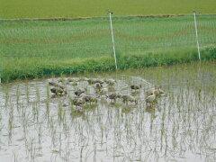 かわいいアイガモが頑張りました!兵庫県豊岡産コシヒカリあいがも栽培米(無農薬)玄米1kgあたり