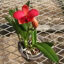 【株のみ販売】蘭 ミニカトレア  アジアンレッド ※誕生日・母の日・敬老の日などのお祝い花に