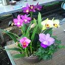 【株のみ販売 10月下旬以降から咲き始めます】蘭 ミニカトレア  3種盛り ※誕生日・母の日・敬老の日などのお祝い花に