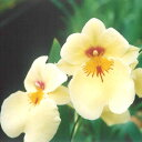 【株のみ販売】蘭 ミルトニア  ゴールデンマジシャン ※誕生日・母の日・敬老の日などのお祝い花に