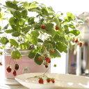【家庭菜園】 リトルガーデン・プロ ワイルドストロベリー <LGP-09> 野菜 イチゴ【代引き不可】