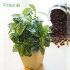 フィットニア鉢植