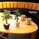 パキラ小鉢