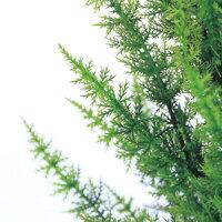 【観葉植物フェイクグリーン】ゴールドクレストツリーグリーン180cm【送料無料】(光触媒より優れたCT触媒/SC触媒/インテリア/お祝い)