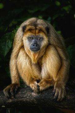 動物 アニマル 猿 サル さるの壁紙輸入 カスタム壁紙 PHOTOWALL / Golden Monkey (e24133)貼ってはがせるフリース壁紙(不織布)【海外取り寄せのため1カ月程度でお届け】【代引き不可】