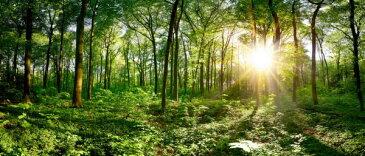 森 森林 木 朝日 日差し 自然 緑 グリーンの壁紙 輸入 カスタム壁紙 PHOTOWALL / Idyllic Forest at Sunrise (e318404) 貼ってはがせるフリース壁紙(不織布) 【海外取り寄せのため1カ月程度でお届け】 【代引き不可】
