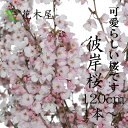 【3月10日頃より発送】彼岸桜 ひがんさくら 生花 切花 活花 華道 店舗 イベント 装飾 プレゼント 花材 お供え 1本からご利用可能です