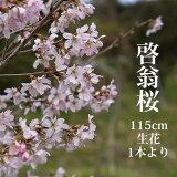 啓翁桜 115センチ程度 1本 切花 特級品 お花見 花見 家 贈り物 飾り ケイオウ桜 sakura 桜 さくら サクラ 敬翁桜