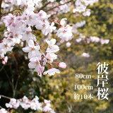 【3月10日ごろからの出荷】彼岸桜 高さ1m〜0.6m 小枝 1束 10本程度 切花 お花見 花見 家 屋内 飾り