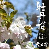 【花材】牡丹桜