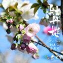 牡丹桜 高さ1m〜0.6m 小枝 1束 10本程度 切花 お