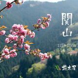 【4月上旬からの出荷】おうち花見 八重 桜 関山 約1.15m 1本より 生花 切枝 お花見 花見 家 屋内 飾り