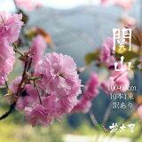 【4月上旬からの出荷】桜 関山 高さ1m〜0.6m 小枝 1束 10本程度 切花 お花見 花見 家 屋内 飾り