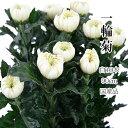 菊の花 一輪菊 白 70〜80センチ 10本 切花 生花 令和 お祝い