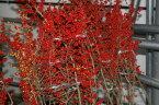 【2019年10月より発送】梅もどき 赤 120cm程度 切花 切り花 1本 から 花材 花展 展示会 生花 切り花 枝物 枝もの 秋 10月 11月 木の枝 インテリア