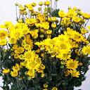 小菊 黄 60〜75センチ 10本 切花 生花