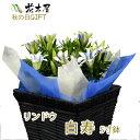 りんどう 鉢植え 5号鉢 ブルー ホワイト プレゼント 鉢花...
