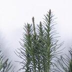 朝鮮槇 120cm前後 5本組み 1束 生花 切花