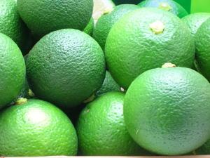 かぼす カボス [かぼす青果 果実 4kg 有機栽培品](有機JAS規格認定産物)【カボス果実】【カボス】」 大分特産柑橘