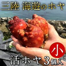 ほや雄勝湾産活ホヤ[小]3個三陸宮城県産漁師直送活ほや