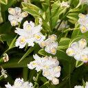 次々と新しい花を咲かせます!シャガ(射干、著莪) 斑入り葉!【アヤメ属】斑入葉シャガ(射...