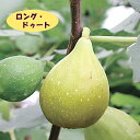 【イチジク属】ロング・ドゥート(バナーネ)(接木苗)4号LLポット