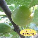 【イチジク属】ドリード・ポルケロール(二年生接木苗)4号LLポット