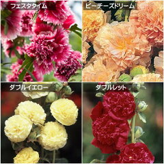春ガーデニング!スタートセール!20%OFF毎年、真夏に八重咲きの大きな花を咲かせてくれるタチ...