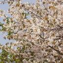 春ガーデニング!スタートセール!30%OFF一番最後に咲く桜!山桜【サクラ属】山桜 4号鉢 接...