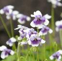 花びらが紫色、先端が白でパンダのよう!ツタスミレ パンダスミレ!【スミレ属】パンダスミレ...